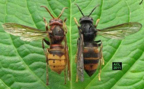 Η Ασιατική σφήκα εντοπίστηκε και στο Ηνωμένο Βασίλειο
