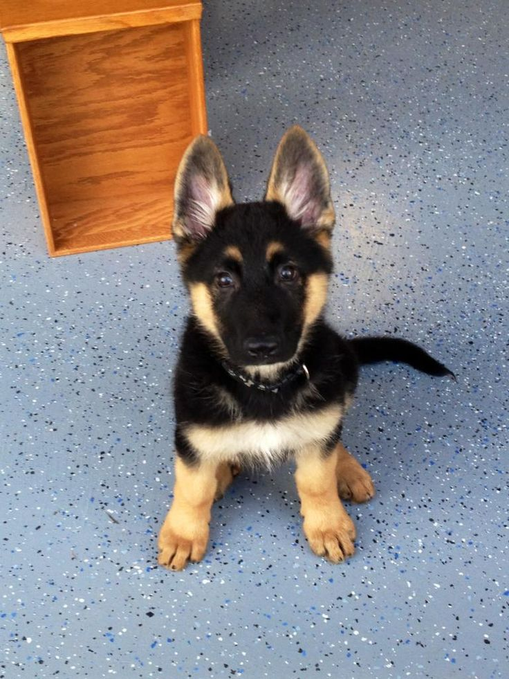 How much does a German Shepherd Puppy Cost? - Annie Many