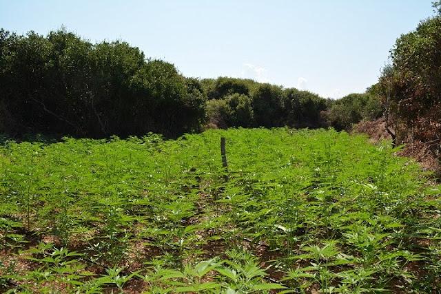 Εντοπίστηκε φυτεία με 2.000 δενδρύλλια κάνναβης στη Μεσσηνία