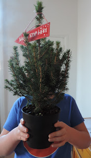 year old sapling live xmas tree in pot sainsburys