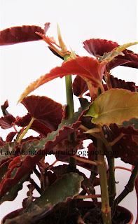 begonia-angel-wings-pinafore