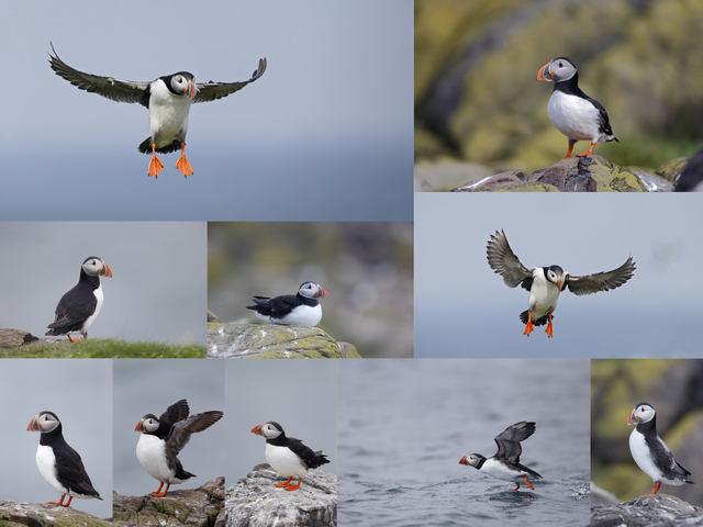 تحميل 10 صور لطائر بفن (المهرج الوفي) بجودة عالية