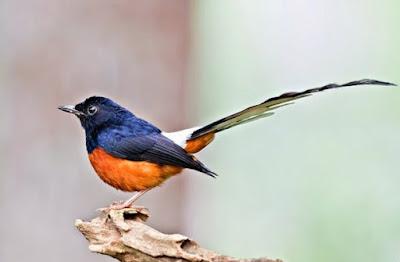 Merk Pakan Voer Terbaik Untuk Di Berikan Pada Burung Murai Batu Dan Kisaran Harga Terbarunya Saat Ini -