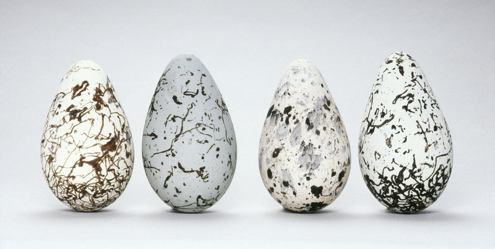 Eggs of the common murre bird.