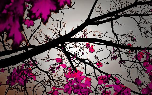 Achtergrond met boom met paarse herfst bladeren