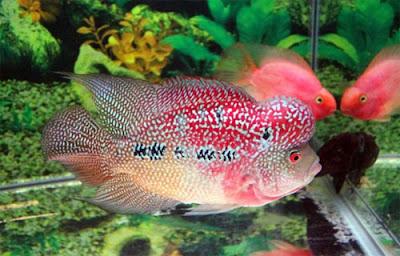 Cara Budidaya Ikan Louhan