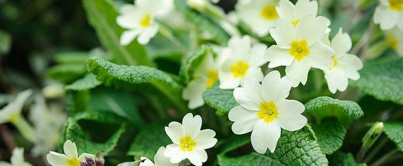 Flores blancas de primula vulgaris