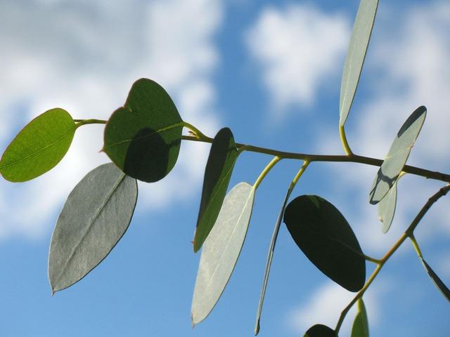 El eucalipto alivia las vías respiratorias y es un desesperante muy eficiente