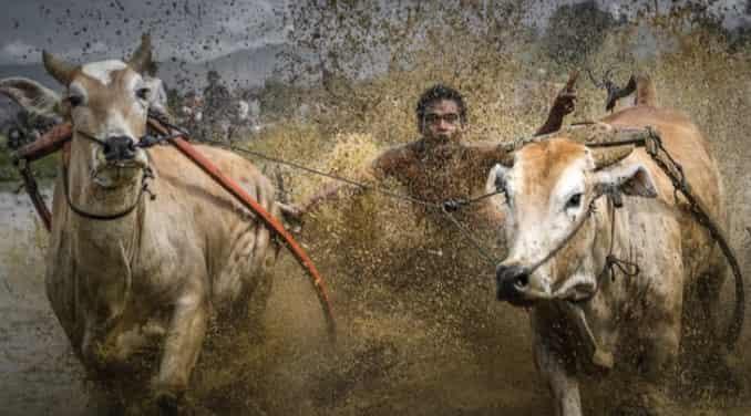 Pacu Jawi Festival -Tanah Datar, West Sumatra