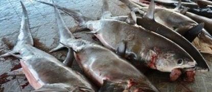 Cara Membuat Asap Ikan Hiu (Peluang Usaha Pemula)