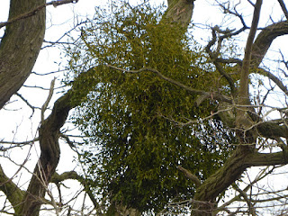 Mistletoe (Viscum album)