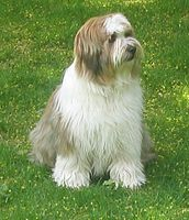 Tibetan Terrier Dog at park
