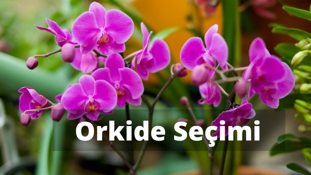Orkide Alırken Nelere Dikkat Etmeliyiz?