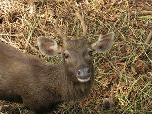 Cervo Sambar - são mortos para retirar seus chifres.