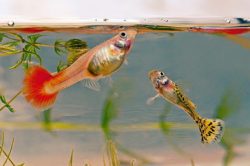 Gambar Ikan Guppy Jantan Dan Betina