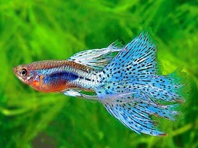 Gambar ikan guppy sedang mencari makanan