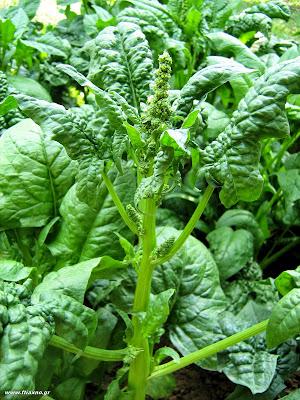 Σπανάκι σπορά φύτεμα καλλιέργεια