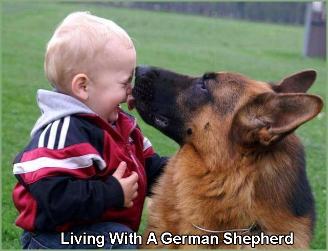 Living With A German Shepherd