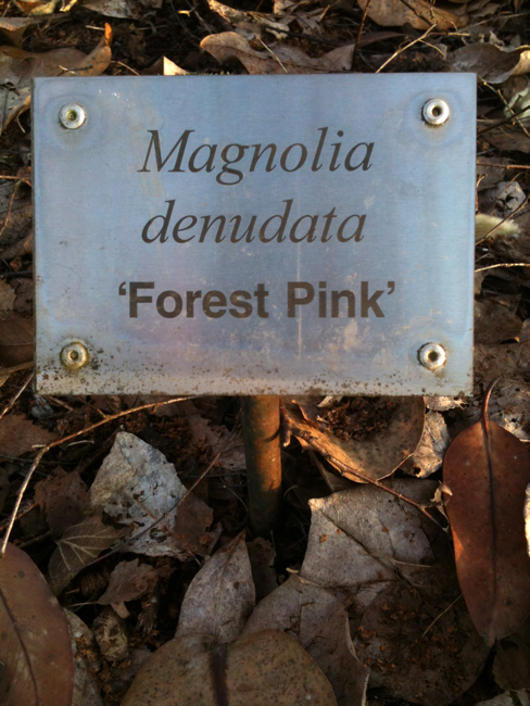 magnolia denudata, forest pink, cedar creek oregon