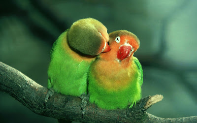 Lovely-couple-Parrots allfreshwallpaper