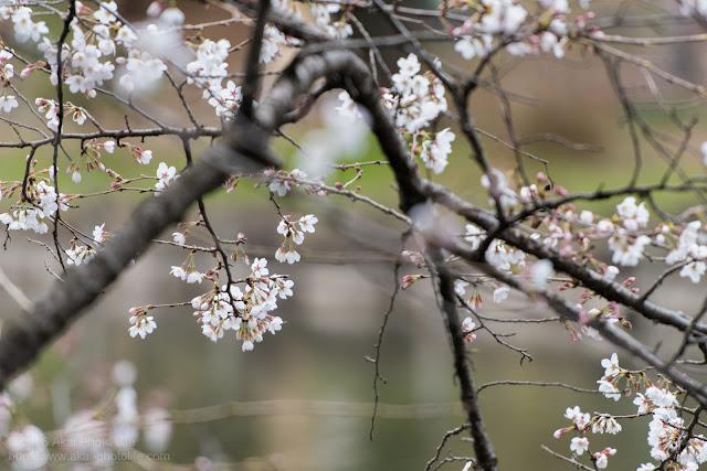 満開までもう少しの桜の写真