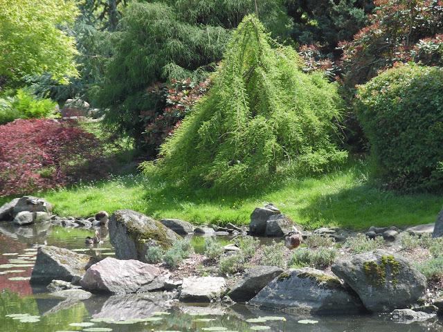 klony palmowe w ogrodzie japońskim nad stawem