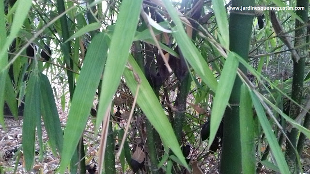 Masa arbustiva formada por cañas de bambú