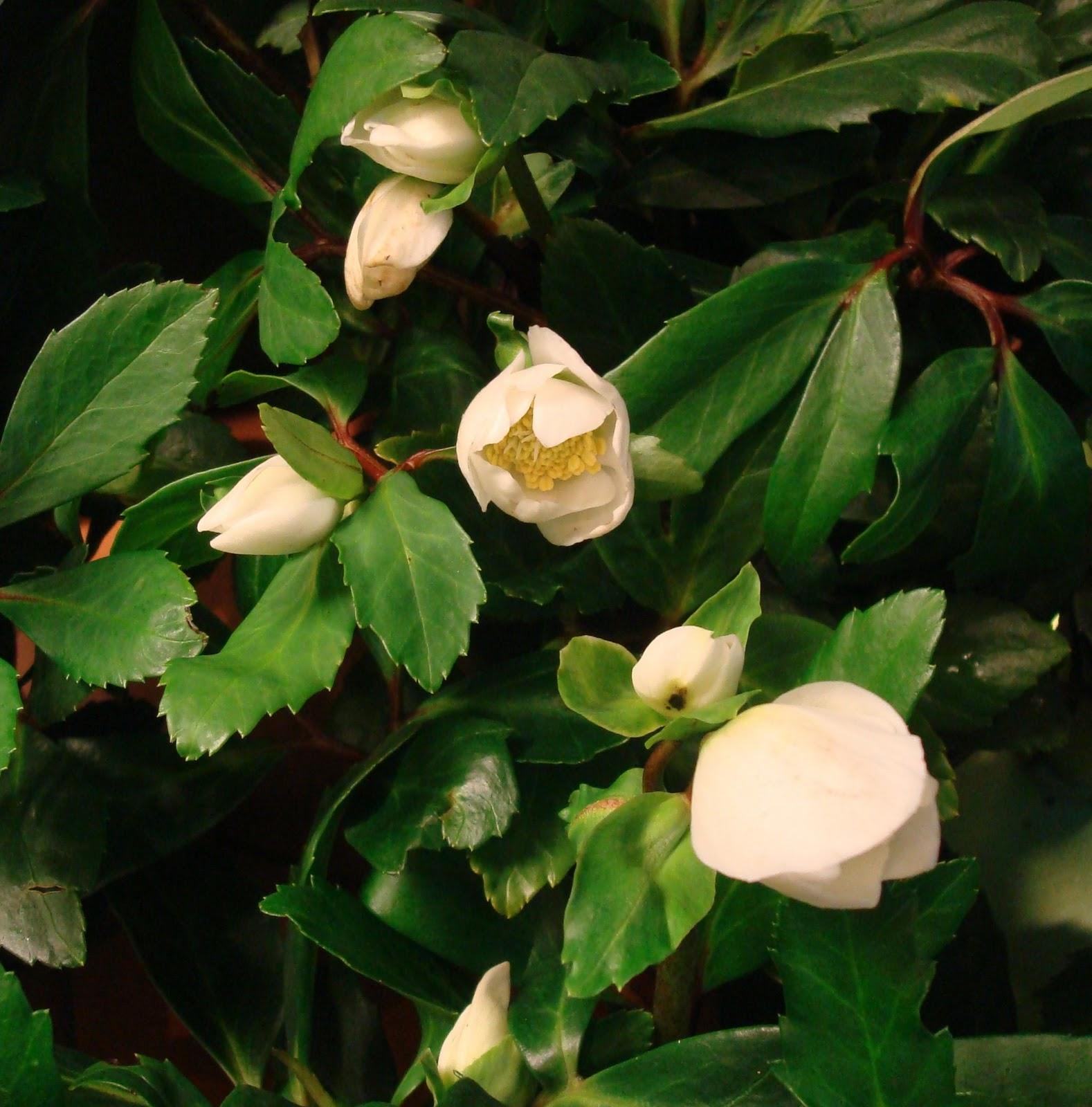 fleuriste isabelle feuvrier les plantes d 39 hiver pour l 39 ext rieur. Black Bedroom Furniture Sets. Home Design Ideas