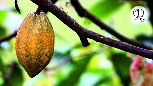 cacao chuao venezuela henry pittier