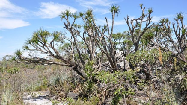 Cerrado brasileiro pode ter maior extinção de plantas da história, em 30 anos.