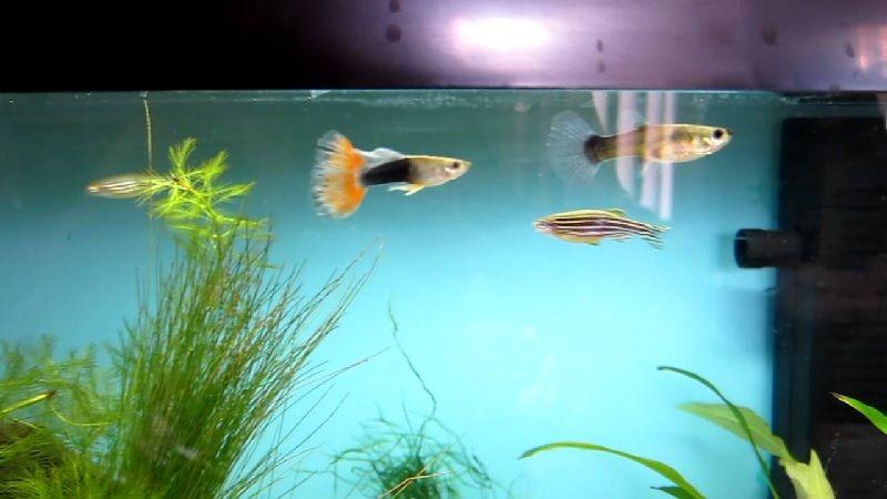 Gambar Akuarium Ikan Guppy Veiltail