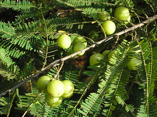 Amalaki fruit (Embelica officinalis) - also called amla or Indian gooseberry, is renowned as one of the best rejuvenating herbs in Ayurvedic medicine