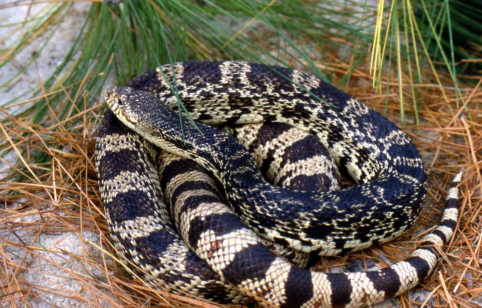 Non venomous snake pictures