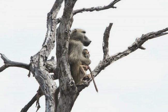 kollima.gr - Η απίστευτη περιπέτεια ενός μικρού μπαμπουίνου στα νύχια μιας λέαινας!