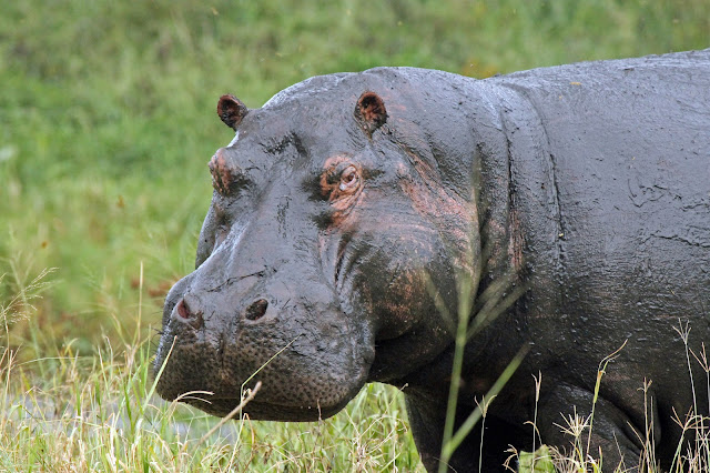 Buy fine art prints of Hippopotamus