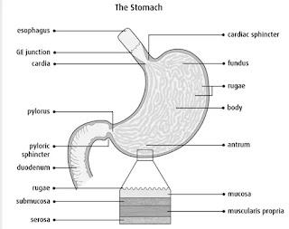 Anatomi dan Fisiologi Lambung Manusia