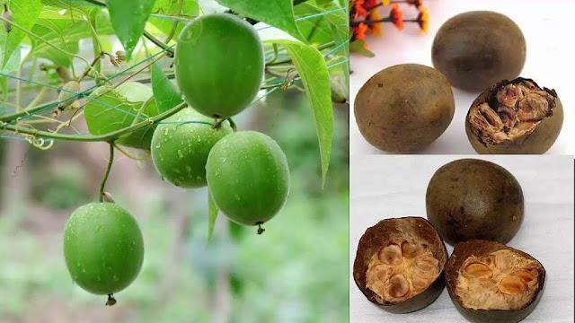 CÂY LA HÁN - Momordica grosvenori - Nguyên liệu làm thuốc Chữa Ho Hen