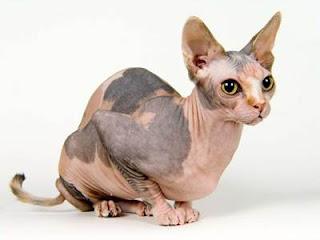 kucing sphyniyx 1
