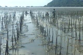 Benih propagul mangrove telah tertanam