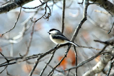 a chipper-looking chickadee