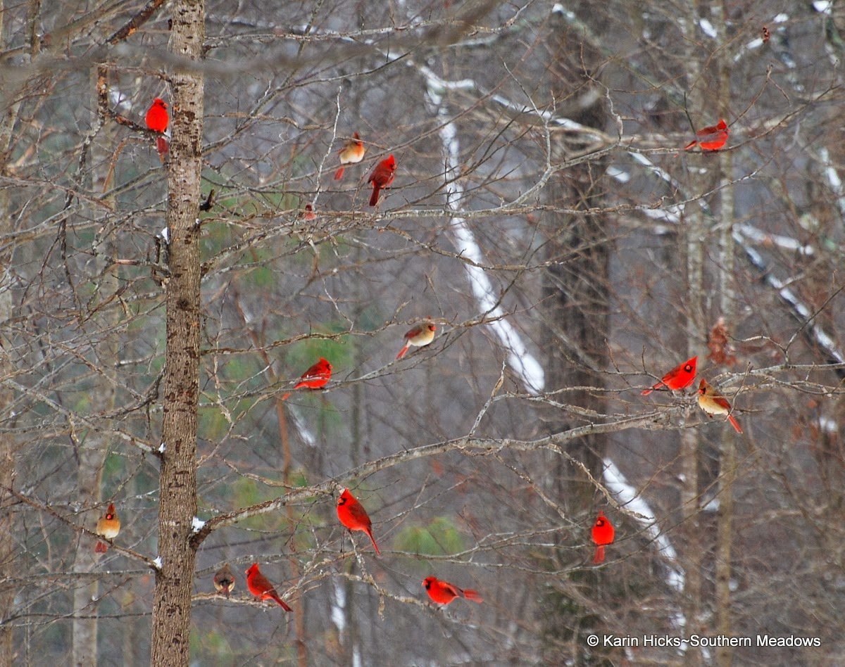 Cardinals in winter landscape