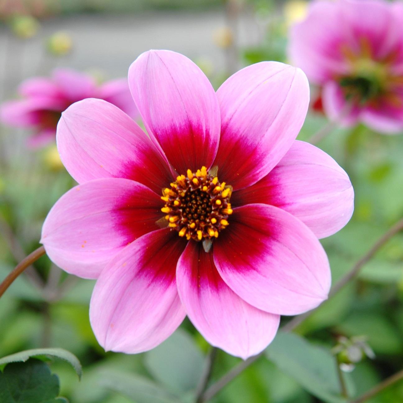 dahlia a fleur simple
