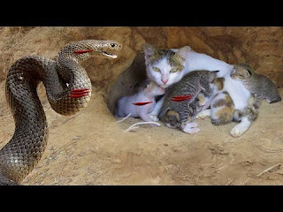Primitive Technology: Boys Found Five Cats From Python Attack - Python Attack Cat Nest