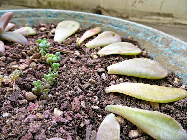 moltiplicare le succulente