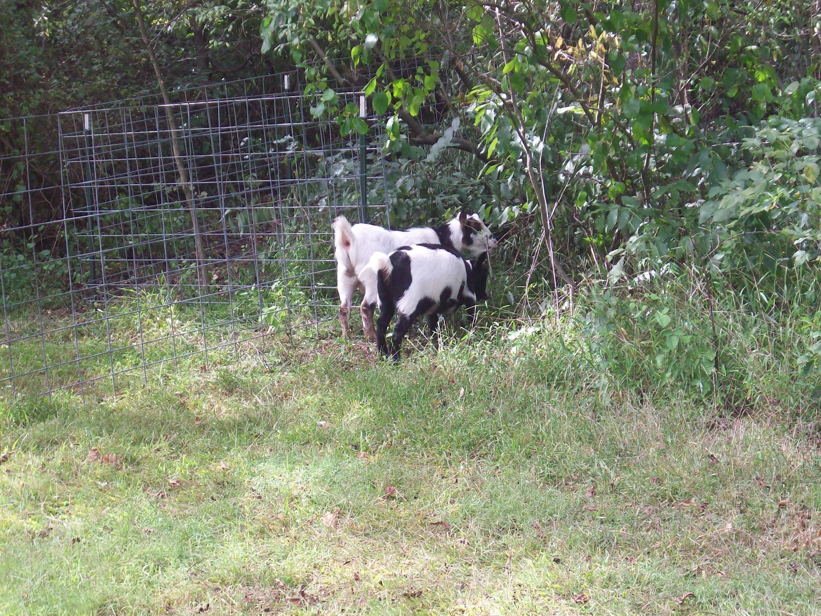 4 acres and a stream: The goats are here! (And how to build