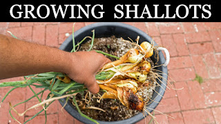 Growing Shallots In Containers
