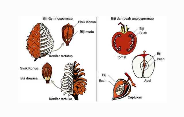 Pengertian, Ciri, Struktur Gymnospermae dan Angiospermae