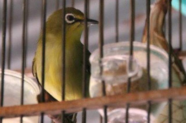 merupakan materi masakan yang umum diberikan pada burung kicauan Cara Termudah Memilih Voer yang Berkualitas Baik untuk Burung Kicauan