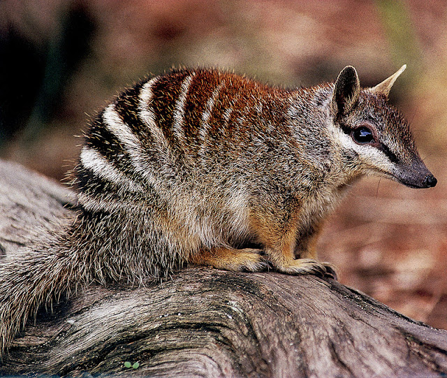 Do you know Numbat? See facts and information 11