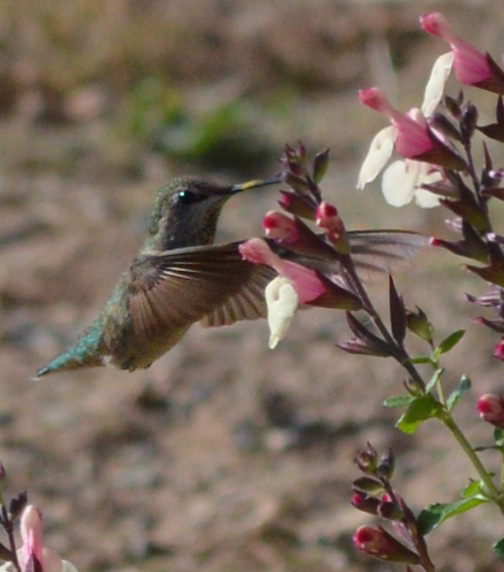 hummingbird, autumn sage, flowers to attract hummingbirds